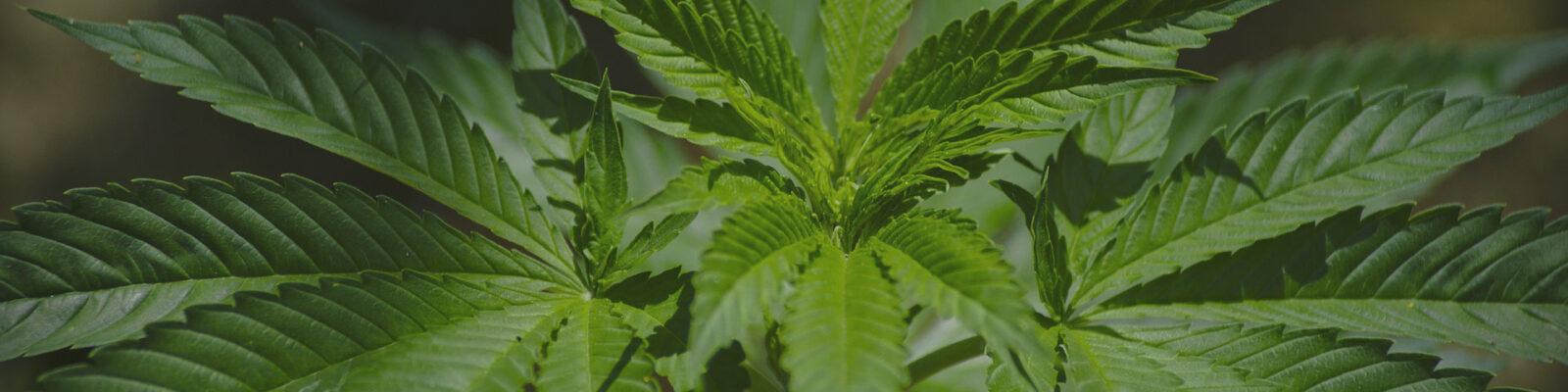 El cannabis sí es un medicamento